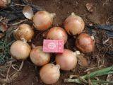 洋葱【厂家,品牌,求购,土豆好】-中国制造网,丰县价格蘸糖图片