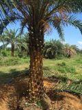 云南精品中东海枣,漳州银海枣哪里多,棕榈科基地直销
