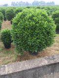 浙江高度1米2非洲茉莉價位,浙江地苗非洲茉莉