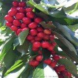 大量批发俄罗斯8号含香樱桃品种树苗保证品种