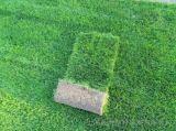 草坪基地直销:百慕达、果岭草、黑麦草、草皮卷