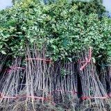 贵州大红袍花椒苗多少钱 花椒苗品种