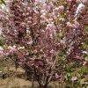 15公分的櫻花哪裏有 15公分的櫻花多少錢