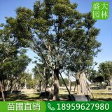 广西28公分香樟大骨架移栽四季常青,广西香樟多少钱