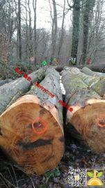 尚高木业供应卢森堡大径榉木原木