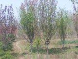 西府海棠樹苗 1-8公分海棠樹苗