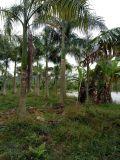 广西大王椰子批发,广西大王椰子最新报价,假槟榔种植场