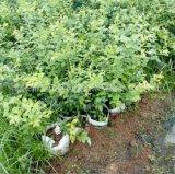 蓝莓苗 山东蓝莓苗 3年挂果 5年丰产