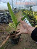 供应花叶美人蕉袋苗等各种绿化苗木袋苗小苗