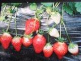 佐贺清香草莓苗 佐贺2号草莓