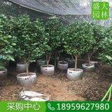 云南茶花大型苗圃,云南茶花地栽苗种植户