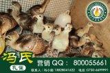 广东蓝孔雀孔雀养殖技术批发全国供应