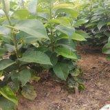 黄金梨树苗基地 黄金梨树苗几年结果