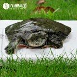 【河洲甲魚】金華野生甲魚批發 中華鱉苗價格 生態甲魚養殖