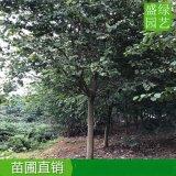 重庆12-15公分洋紫荆价钱优惠中,重庆洋紫荆袋苗