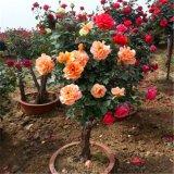闻香园林盆栽月季树 玫瑰月季桩 造型古桩月季花