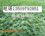 50公分花椒苗=80公分花椒苗=1米以上花椒苗價格