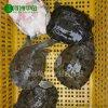 【河洲甲魚】麗水野生甲魚批發|中華鱉苗養殖