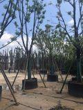 海南12公分多头香樟,海南枝叶繁茂10公分骨架香樟
