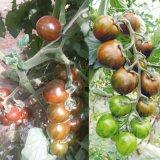 五彩番茄種子 金玉彩3 五彩番茄種子價格 五彩水果番茄種子