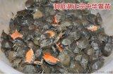 【河洲甲魚】衢州野生甲魚養殖 中華鱉批發 外塘甲魚價格