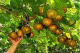50-80釐米高大果紅花油茶苗