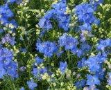 飛燕草種子(藍色 粉色) 日光菊種子(黃色)