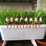 無公害有機蔬菜黃韭盆景/黃韭禮盒