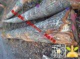 尚高木业长期供应法国红橡ABC级
