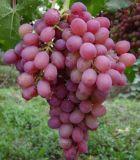 厂家供应葡萄籽提取物