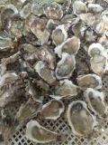 牡蛎分选机