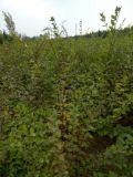 山西連翹苗價格,2年生連翹苗種植基地,哪裏有連翹苗?