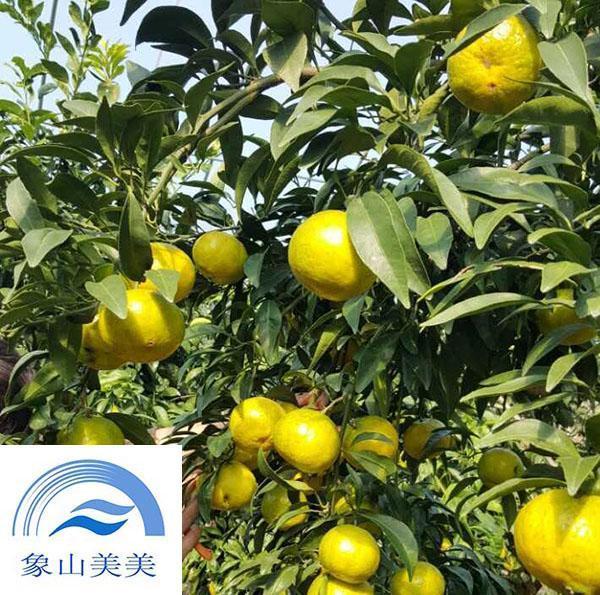 象山红美人柑橘枝条价格,多少钱一斤 红美人 品种 柑橘问答