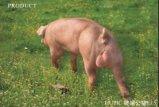 鄂美PIC種豬優惠特賣店