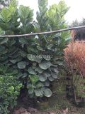 河南琴叶榕观叶植物,河南琴叶榕大盆栽