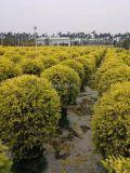 安徽黄金香柳球行道树,安徽黄金香柳球高度1米