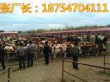 鲁西黄牛养殖前景西门塔尔牛肉牛