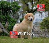 广州哪里买狗狗好,广州金毛幼犬价格多少,广州什么地方有卖金毛