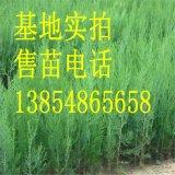 各種規格的側柏苗 當年側柏小苗 營養鉢側柏苗