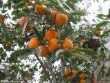 甜柿子樹苗價格
