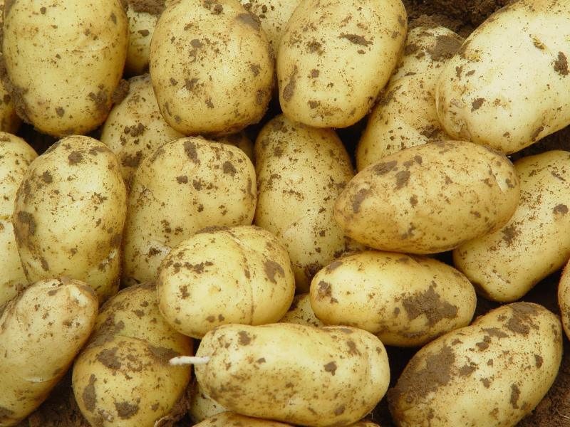 土豆马铃薯高产需要多使用有机肥