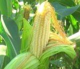 玉米須提取物 專業植提廠家供應