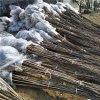 大量批發俄羅斯8號含香櫻桃品種樹苗保證品種