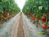 国产金玉X3F1-高抗TY番茄种子