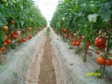 國產金玉X3F1-高抗TY番茄種子