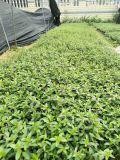安徽苗圃供应满天星袋苗,安徽**花地被苗直销商