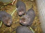 优质竹鼠商品及种苗供应