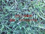 蘭引三號草坪(001)