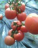 番茄(70)