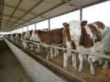 肉牛的饲养,肉牛怎么养长得快?需要注意什么?